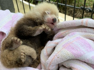 The Smithsonian Conservation Biology Institute welcomed many new animals in 2019, including this endangered red panda cub. (Smithsonian's National Zoo and Conservation Biology Institute).