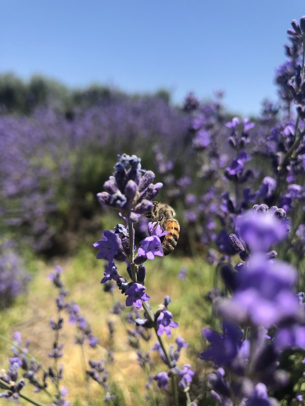 A bumble bee in a lavender field thumbnail