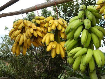 "Samuel Zemurray was sometimes called ""The Banana Man."""