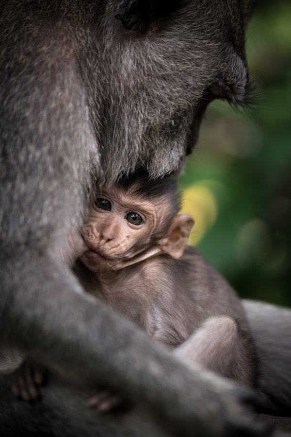 Baby monkey being breastfed in Mount Batur Volcano, Bali thumbnail