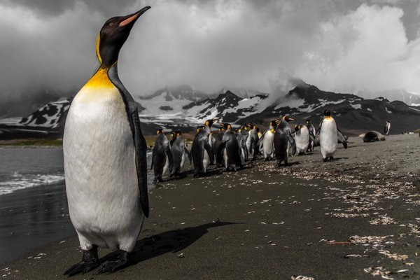 A king penguin waits for the right moment to go into the water.