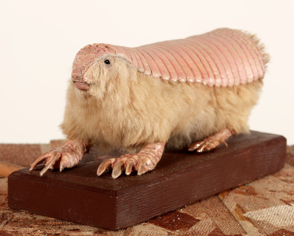 Taxidermied pink armadillo on a wooden pedestal