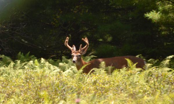 A beautiful Pennsylvania Buck in August thumbnail