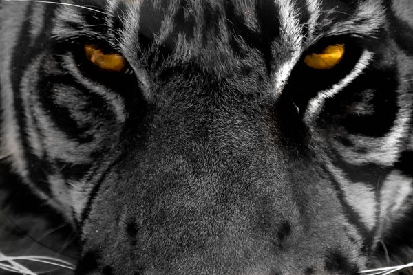 Tiger's Eyes thumbnail