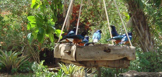 Superb starlings