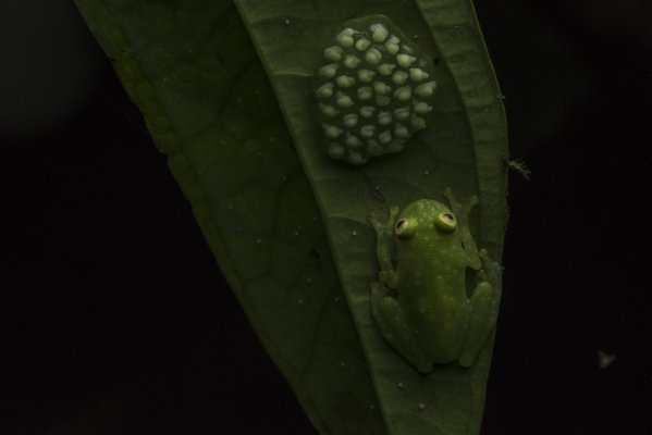 Glass Frog and Eggs thumbnail