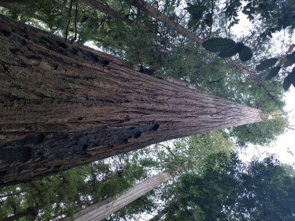 Giant Redwood Tree thumbnail