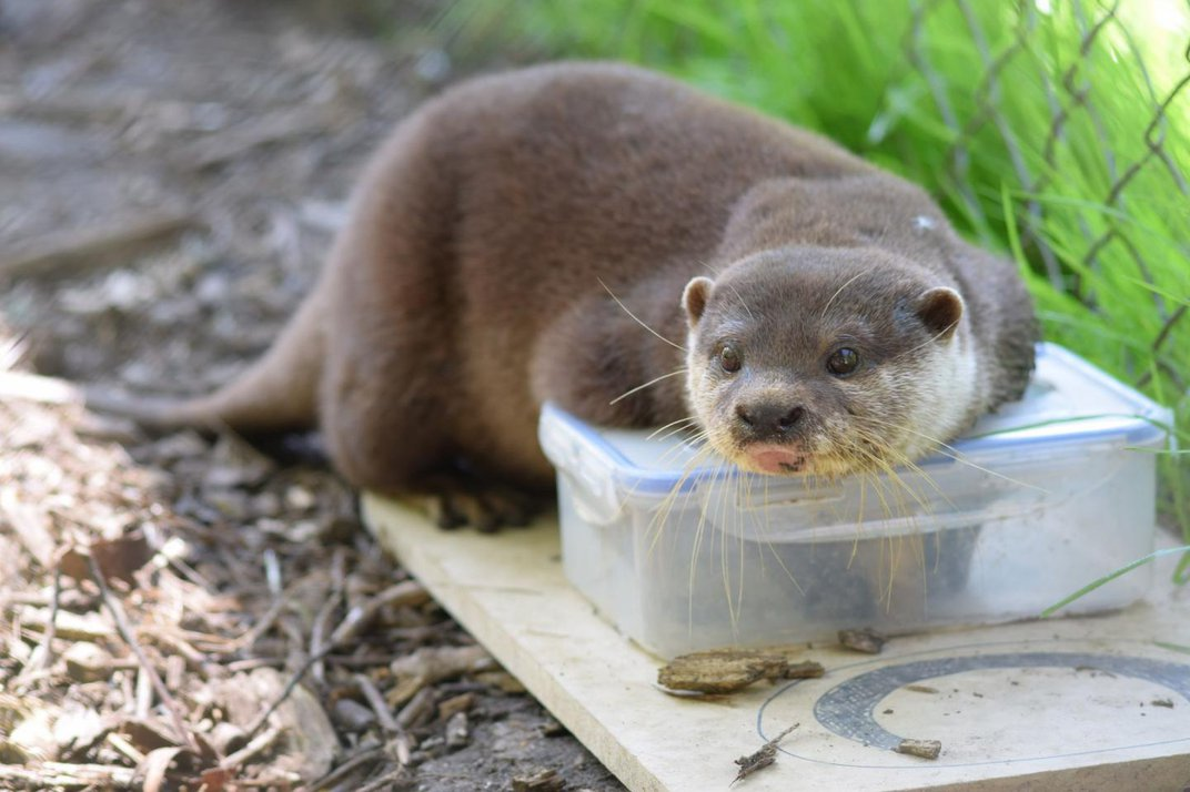 Otters Solve Puzzles Faster After Seeing a Friend Do It First