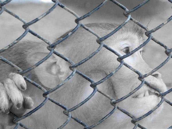 Monkey in a cage.  thumbnail