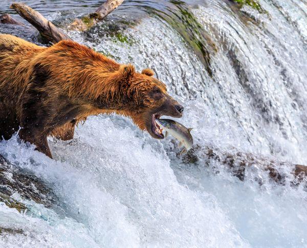 Katmai Brown Bear Making the Catch thumbnail