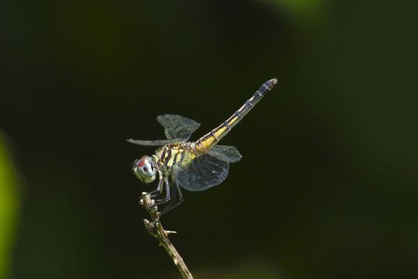 Dragonfly at rest thumbnail