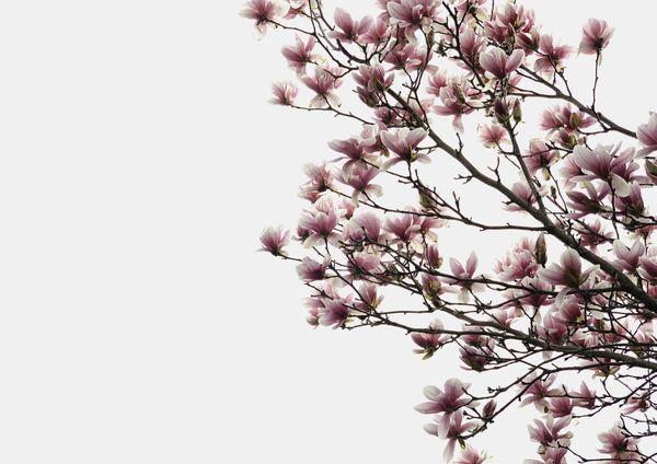 Spring time magnolia flower thumbnail