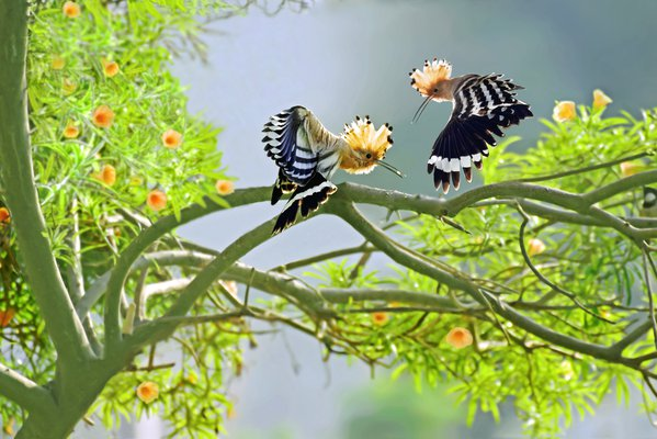Two hoopoe birds sharing tidbits as they take off. thumbnail