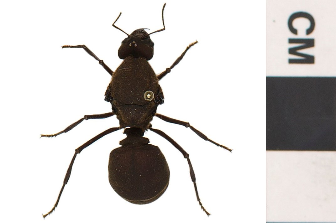 Preserved ant on white background next to a scale