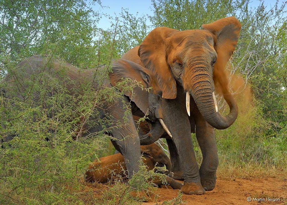 African elephant gives itself a dust bath
