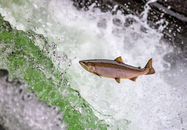 Sakura Salmon run at Kiyosato.  thumbnail