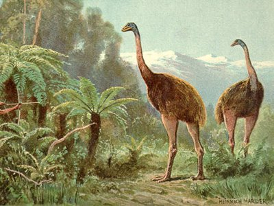 The moa, a species of giant flightless birds, went extinct soon after humans arrived in New Zealand during the 13th century
