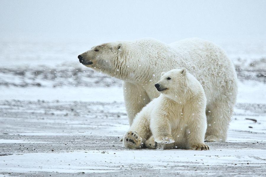 Polar_Bear_ANWR_1.jpg