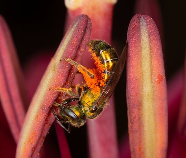 Bee, feeding in a lily thumbnail