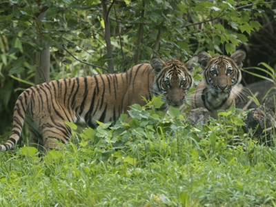 Nadia and her sister Azul as cubs at the Bronx Zoo in 2016. Both tigers showed symptoms of COVID-19, and Nadia tested positive for the virus.