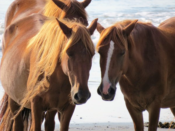 Wild Horses in the Outer Banks thumbnail
