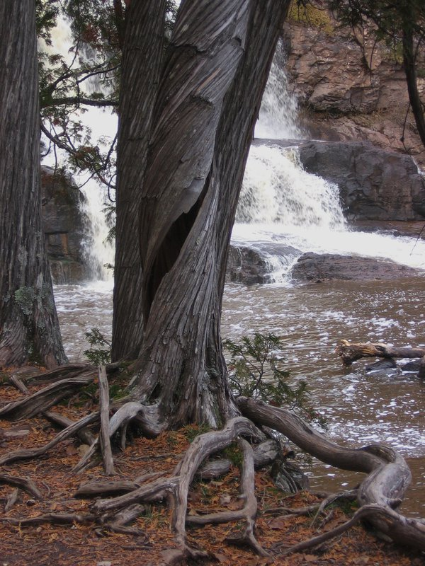 Twisted but still standing, a tree along Gooseberry Falls thumbnail