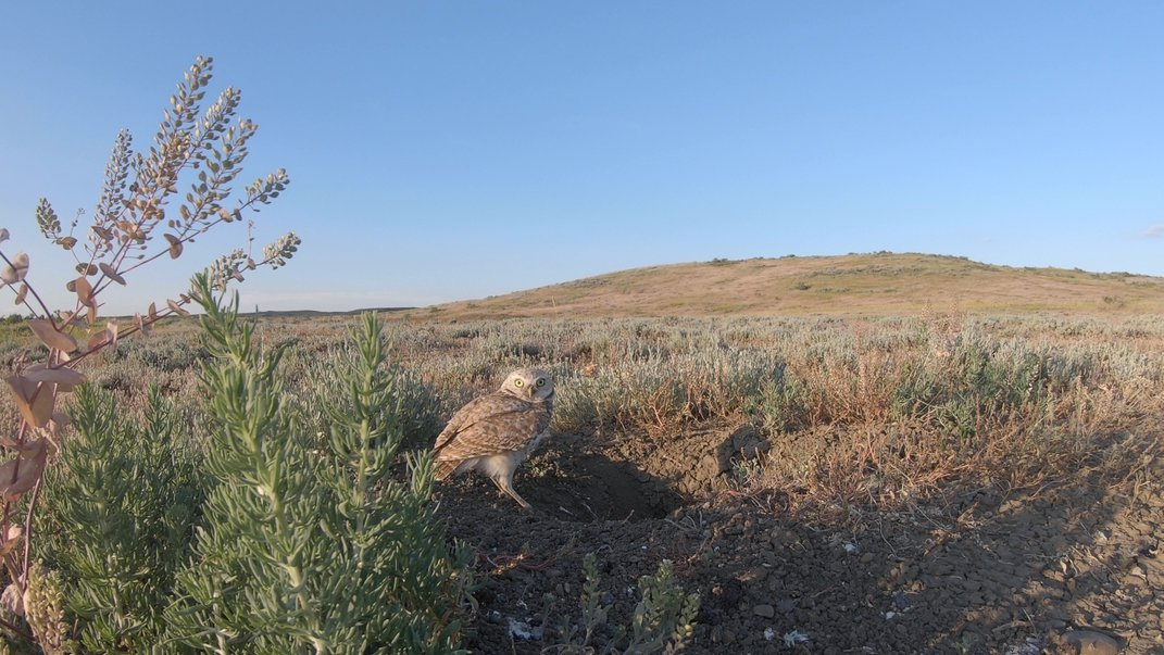 A burrowing owl stands near the entrance of a prairie dog burrow in Montana's grasslands.