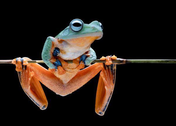 Wallace Flying Frog 6 thumbnail