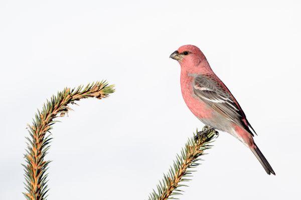 Pine Grosbeak thumbnail
