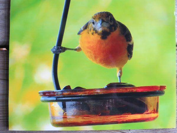 Oriole on a feeder thumbnail