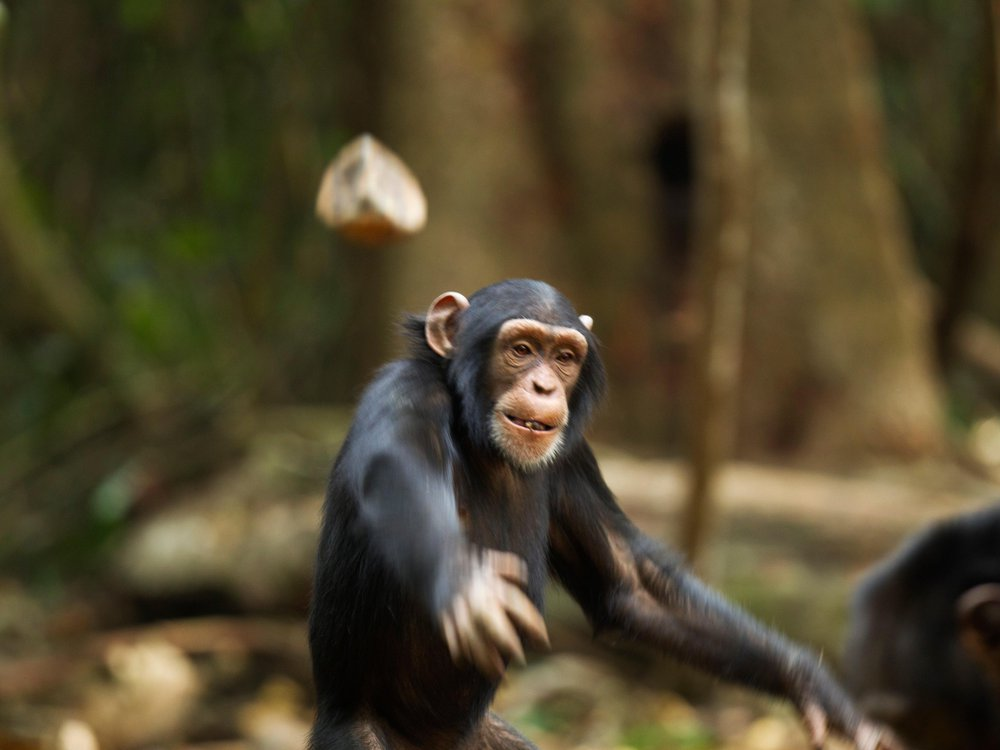 Chimpanzee Throws Rock