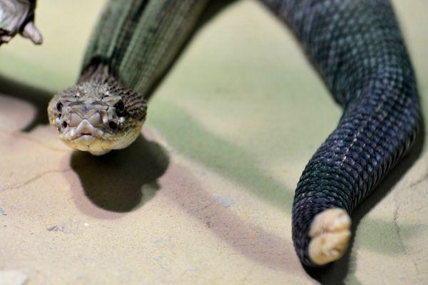 Angry and aggressive rattlesnake at Vienna zoo thumbnail