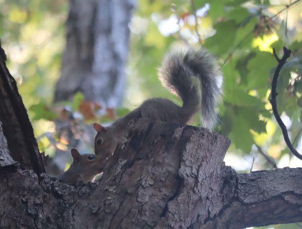 Two Squirrels Kissing thumbnail