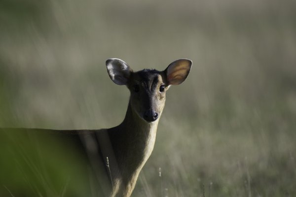 A female Reeve's Muntjac at dawn thumbnail