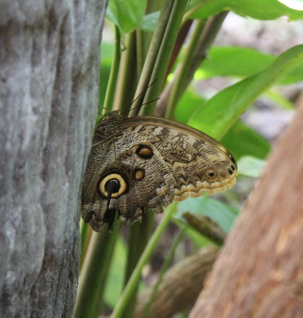 A butterfly that looked like a snake. thumbnail