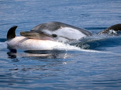 This striped dolphin, photographed in the Gulf of Corinth, may be grieving a relative. A new study examines the evidence.