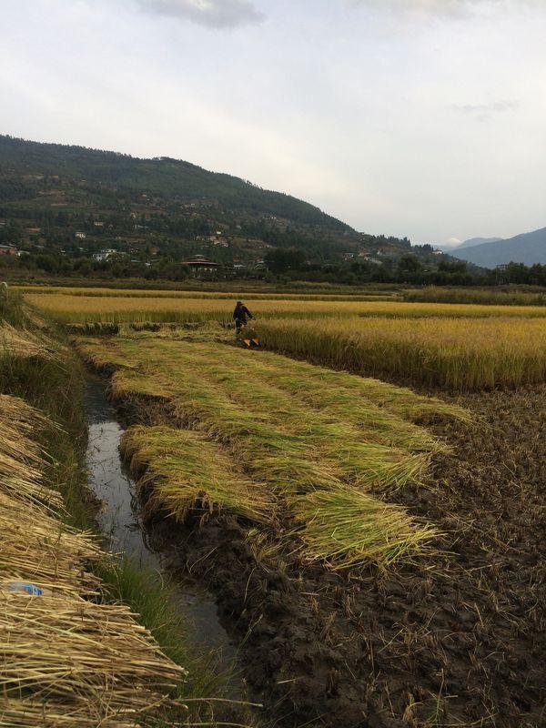 Paddy Harvesting using machine in the western Bhutan thumbnail