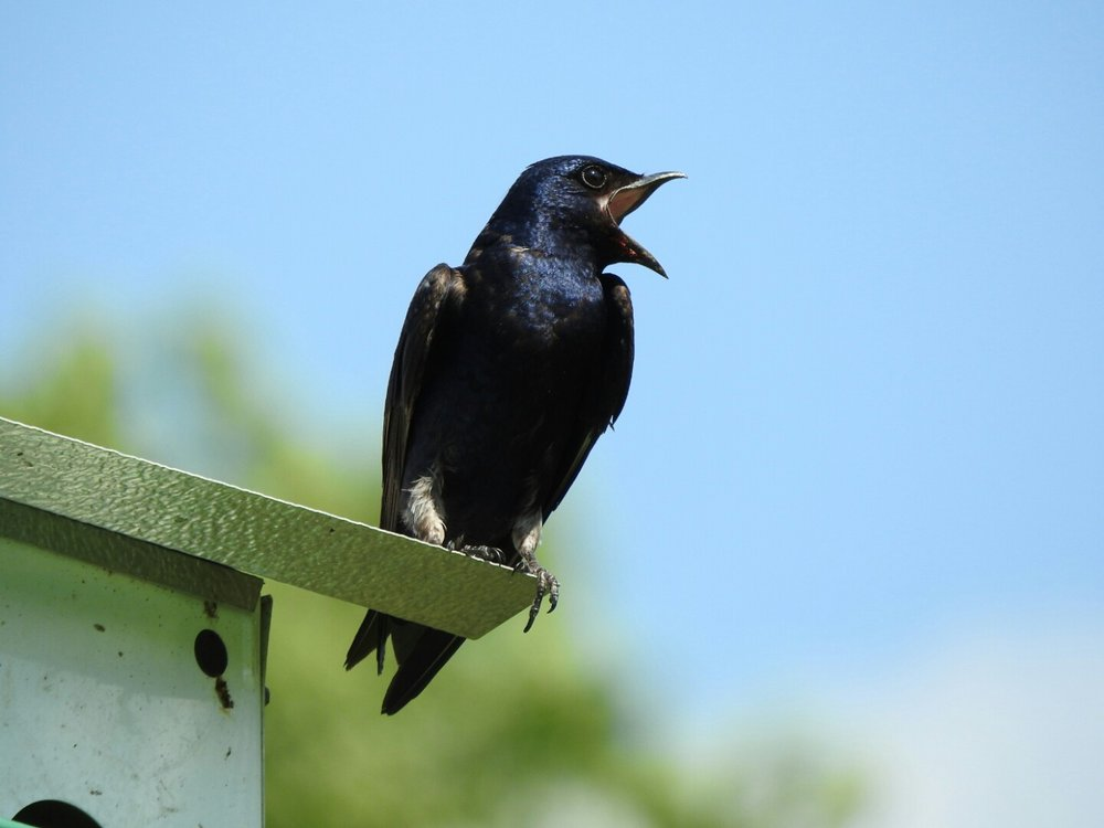 """In the eastern part of North America, purple martins rarely use natural nest cavities. Instead, they rely on artificial """"condominiums"""" and groups of plastic gourds hung by bird enthusiasts."""