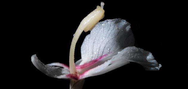 Alpinia boninsimensis by Jonathan Singer