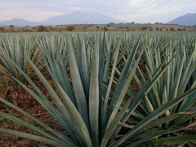 Blue agave grows in a field in the town of Arenal, in the state of Jalisco, Mexico.