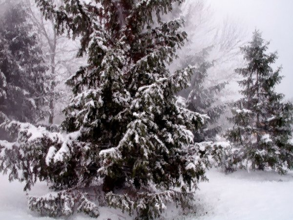 The first snow covered the evergreen trees with a light coat making the world white. thumbnail