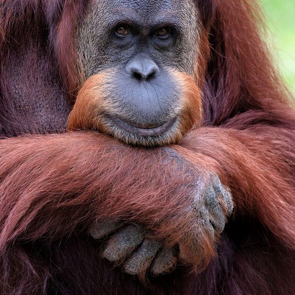 Sumatran Orangutan thumbnail