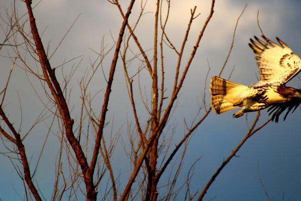 Hawk in flight thumbnail