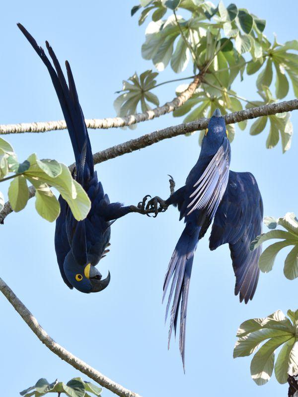 Hyacinth Macaws performing thumbnail