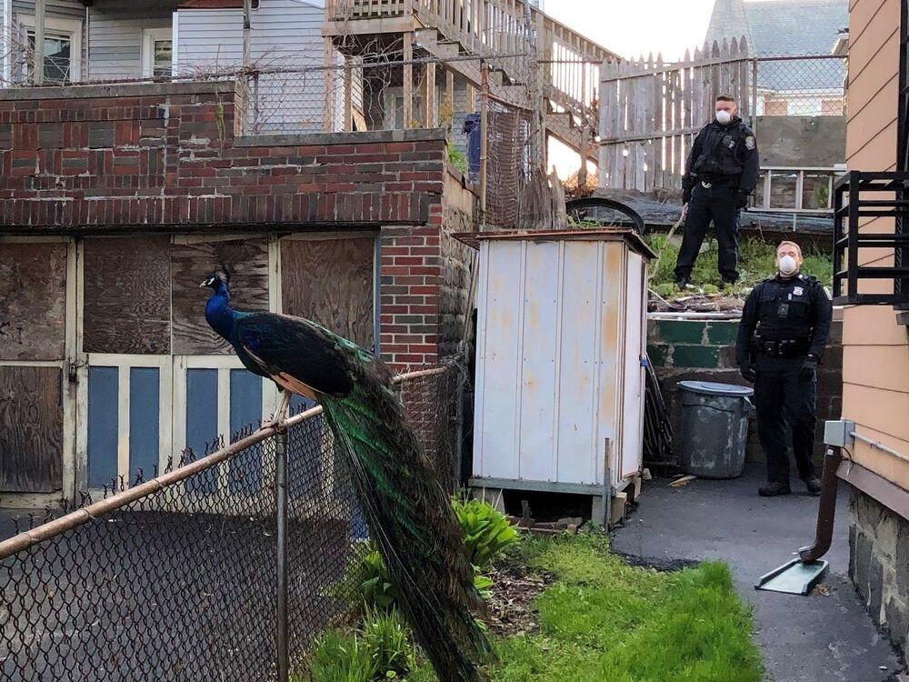 Escaped peacock