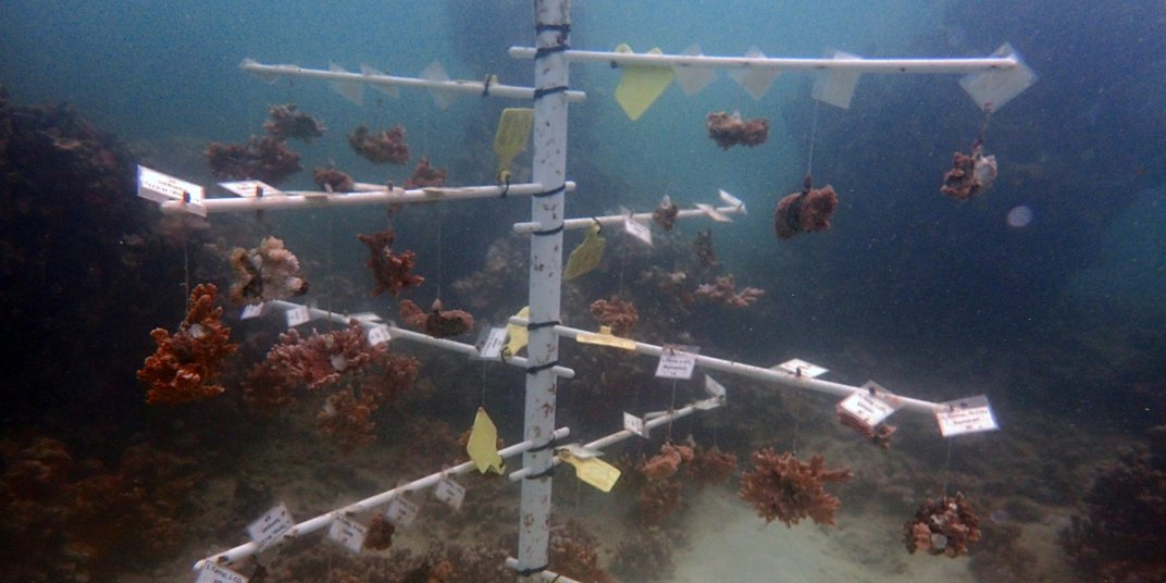 """Corals growing in an underwater nursery on a """"tree"""" made of PVC pipe. The corals hang from the tree and are labeled with tags that indicate their species and the initial temperature they were grown under."""