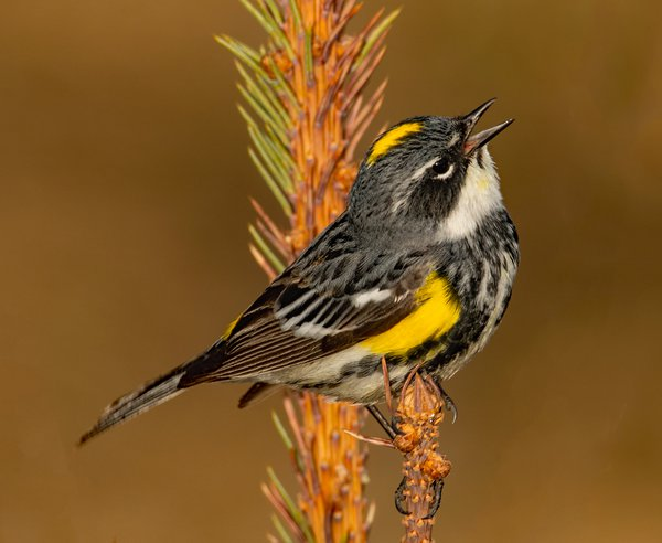 Yellow-rumped Warbler 1 thumbnail