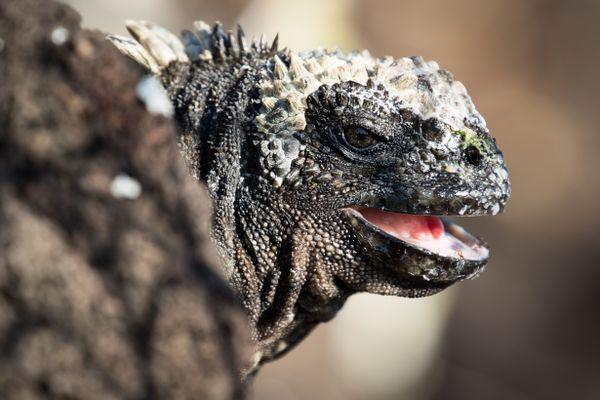Happy iguana thumbnail