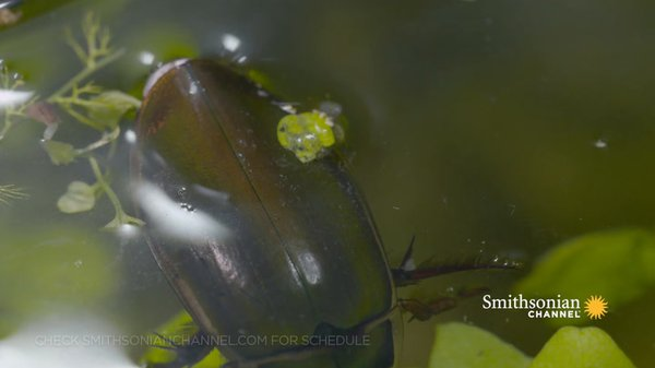Preview thumbnail for The Great Diving Beetle Is an Impressive Underwater Hunter