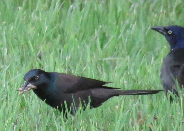 A Grackle eating a frog after a rainfall thumbnail